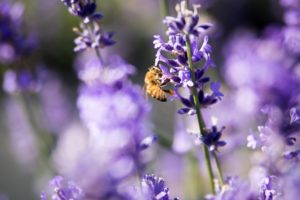 bee-pollinating-lavender