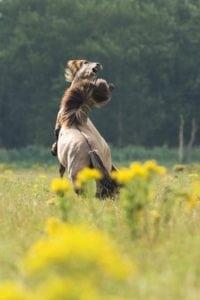 entangled-horses-jpg